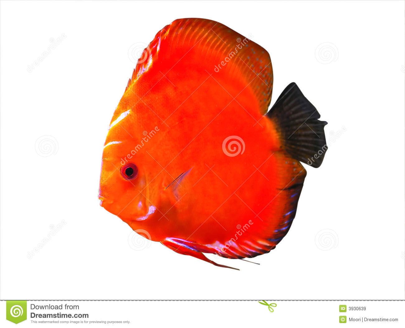 Symphysodon Discus Aquarium Fish Royalty Free Stock Images.
