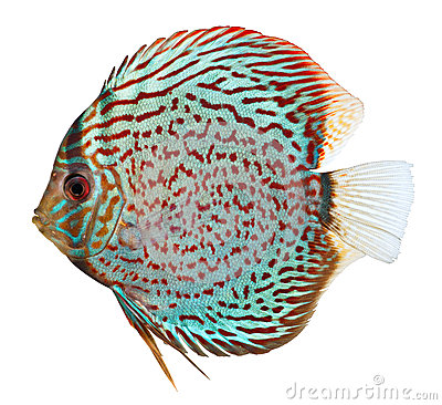 Blue Discus Fish 1 Stock Images.