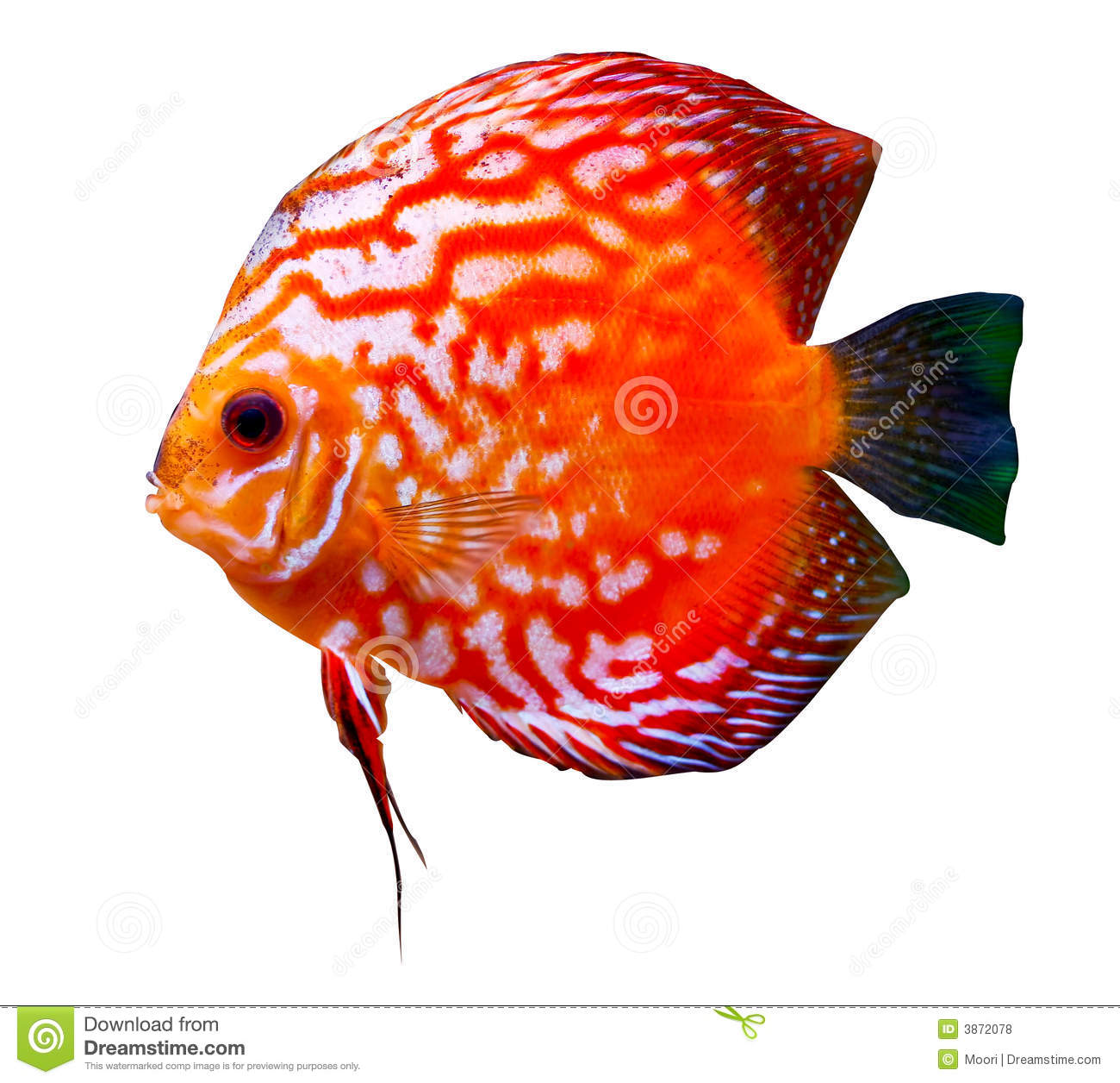 Colorful Tropical Discus Fish Stock Photos.
