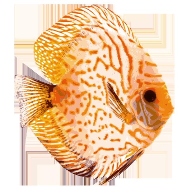 Discus fish clipart.