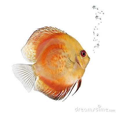 Red Discus Fish Stock Photo.