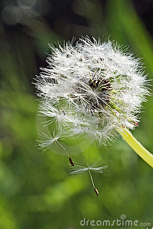 Dispersal Seeds Stock Photos, Images, & Pictures.