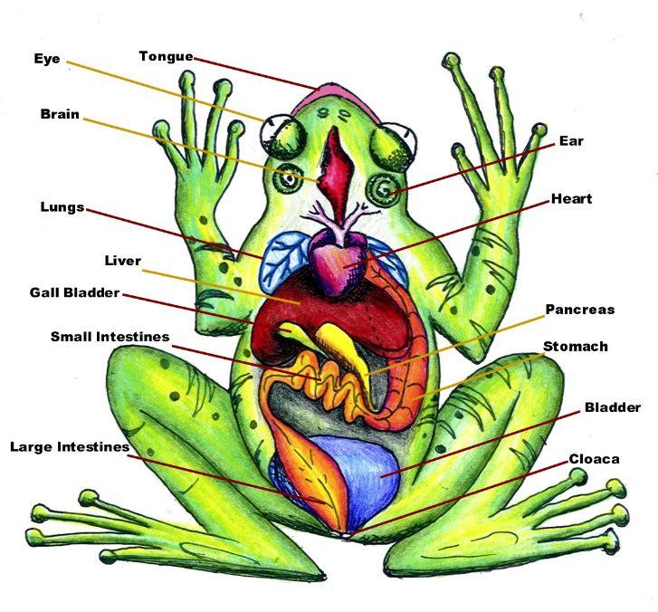 Diagram of Frog Anatomy: Huge Color Image.