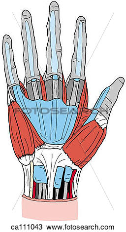 Drawing of Palm, superficial dissection ca111043.