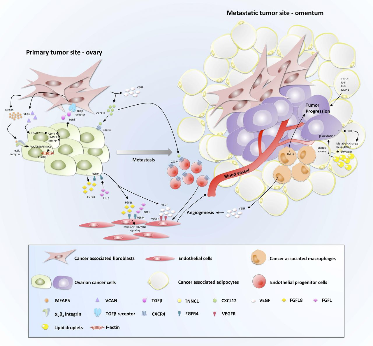 Cellular and molecular processes in ovarian cancer metastasis. A.