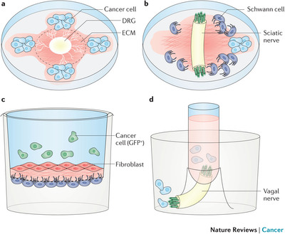 Experimental models for neural invasion : Mechanisms of cancer.