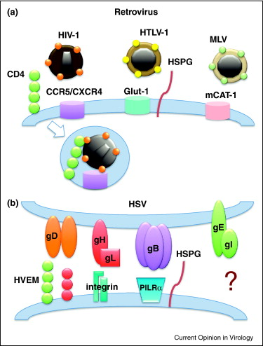 The direct passage of animal viruses between cells.