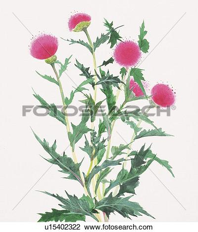 Clip Art of Thistle, close up u15402322.