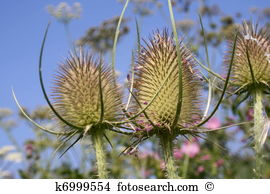 Distel Clipart and Stock Illustrations. 3 distel vector EPS.
