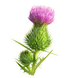Thistle Stock Illustrations.