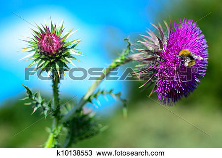 Stock Photo of Distel met hommel k10138553.