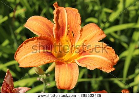 """Tawny Daylily"""" (Or Orange Day Lily, Tiger Daylily, Fulvous Daylily."""