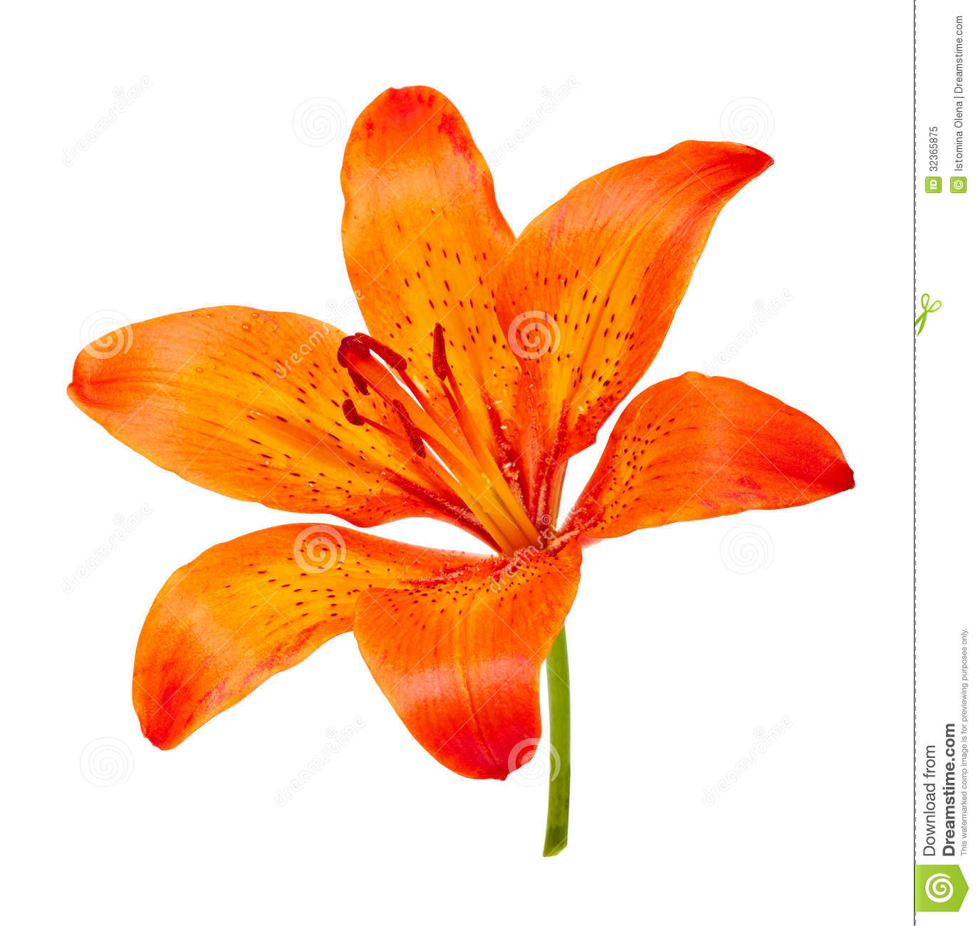 Tiger Lily Royalty Free Stock Photo.