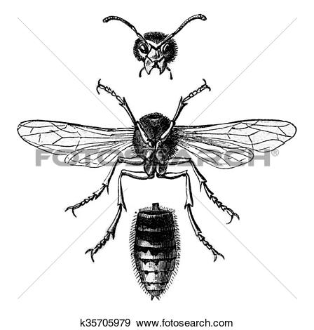 Stock Illustration of Wasp Hornet view below and divided into.