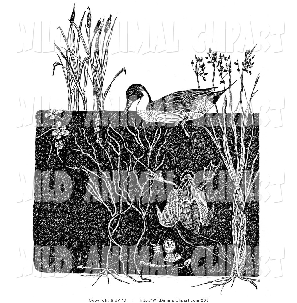 Royalty Free Duck Stock Wildlife Designs.