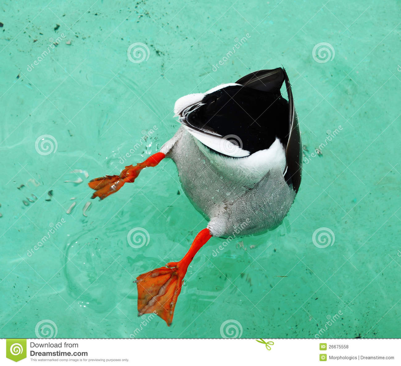Diving Duck Royalty Free Stock Photos.