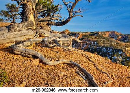 Stock Images of Ancient weathered and twisted Pinyon Pine Pinus.