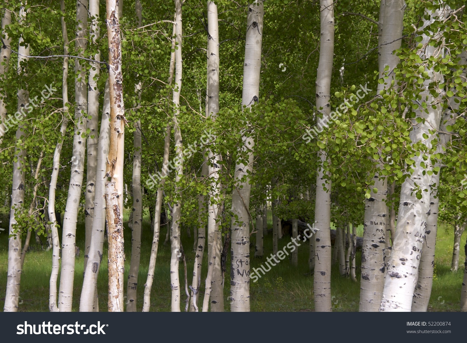 Birch Trees In Dixie National Forest Along National Scenic Byway.