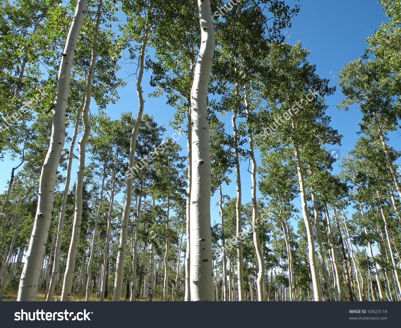 Aspen Trees In Dixie National Forest, Utah Stock Photo 43923118.