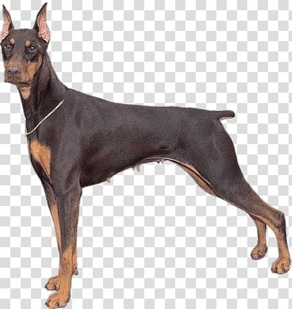 Adult black and brown Dobermann, Doberman Pinscher transparent.