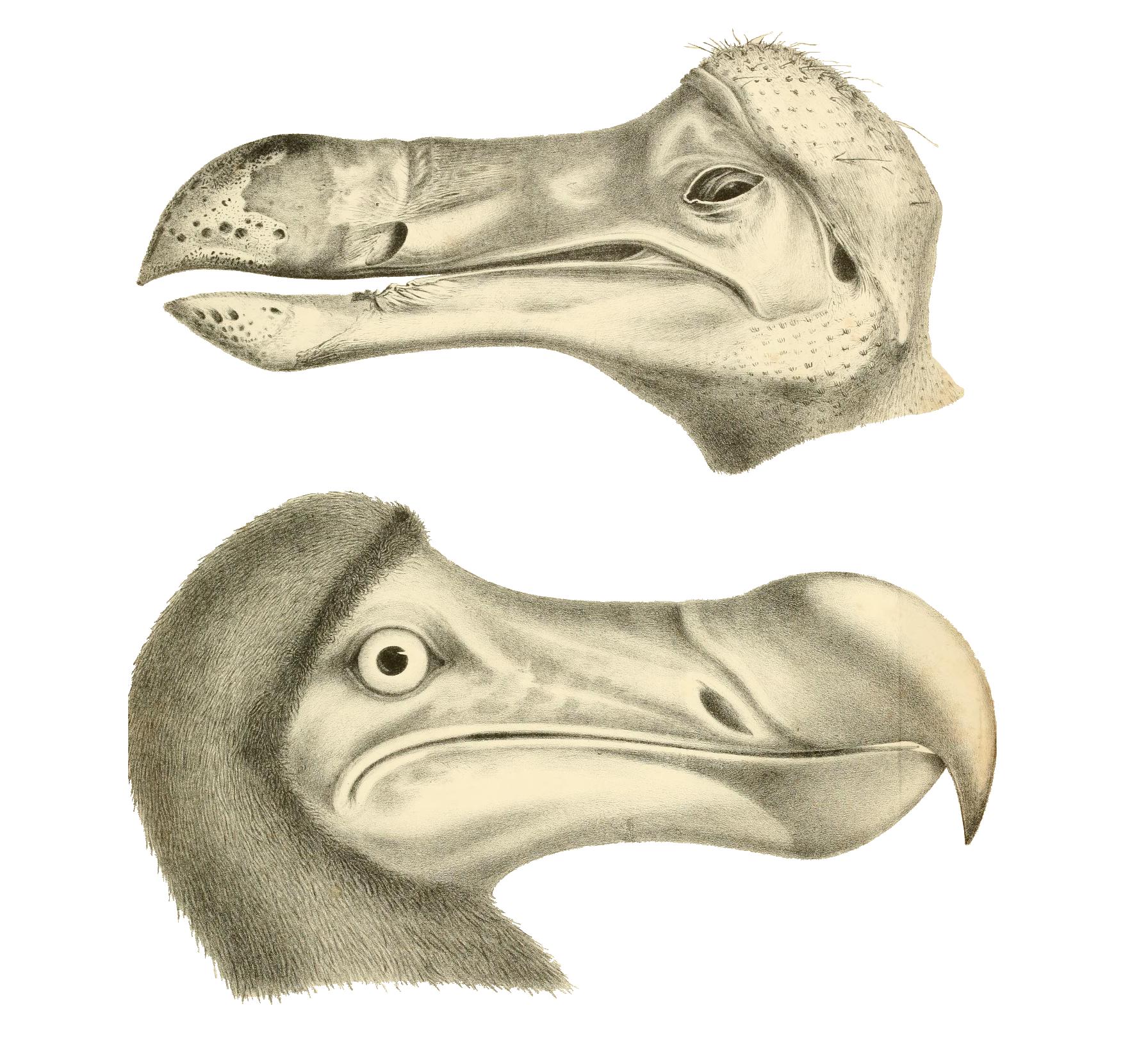 File:Dodo head edited.png.