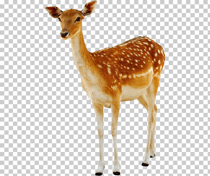 Deer Female, doe deer illustration PNG clipart.