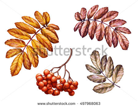 Dogberry Stock Photos, Royalty.