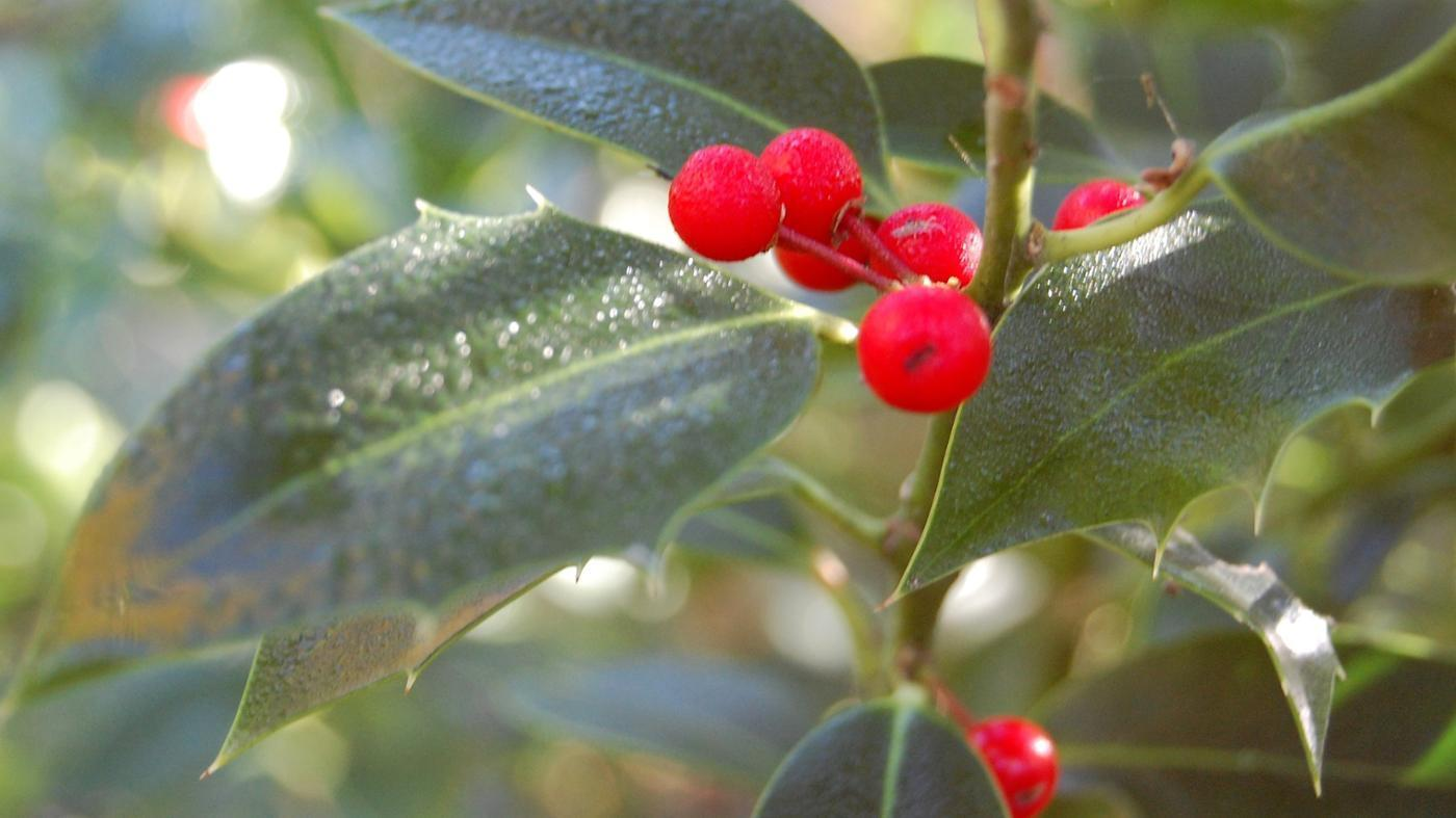 Are holly berries poisonous to dogs?.