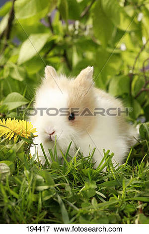 Picture of Dwarf Rabbit, Lionhead Rabbit. White young in grass.