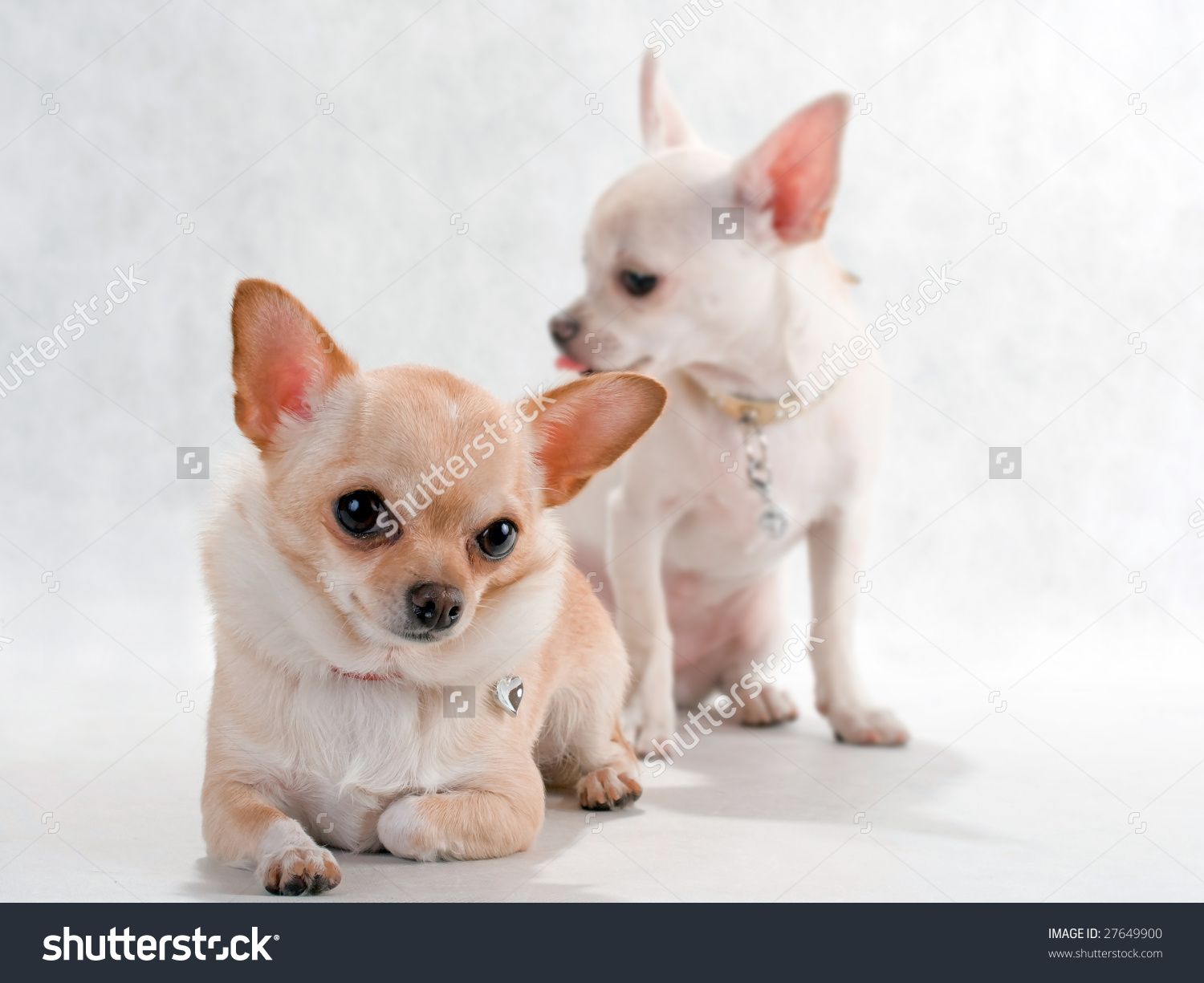 Two Dwarf Chihuahua Dog Breed Stock Photo 27649900.