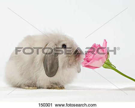 Stock Photography of young dwarf rabbit at rose 150301.
