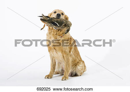Stock Image of A Golden Retriever holding a dead duck in its mouth.