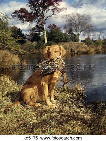 Stock Images of 1980S Golden Retriever Holding A Dead Duck In.
