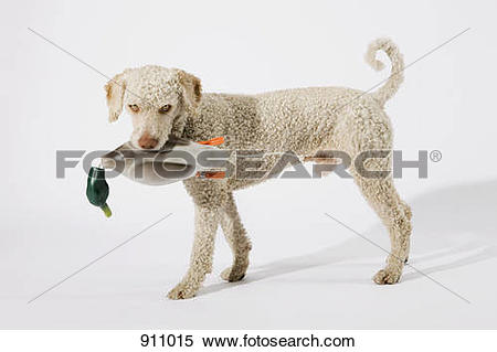 Stock Image of A Portuguese Waterdog holding a toy duck in its.