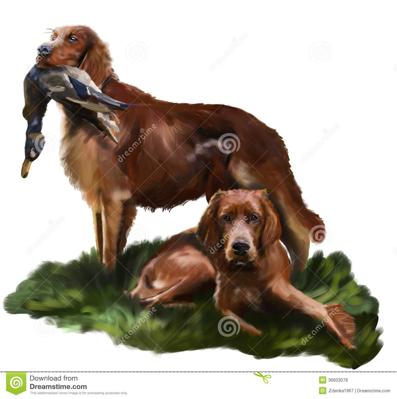 Irish Setter Royalty Free Stock Photos.