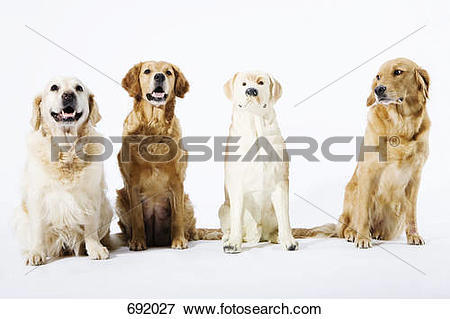 Picture of Three real Golden Retrievers and one fake ceramic dog.