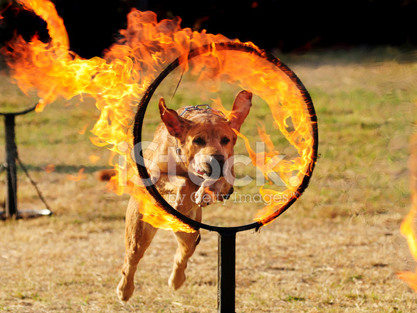Dog Jumping Through A Hoop of Stock Photos.