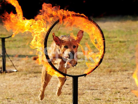 Dog Jumping Through A Hoop of Stock Photos.