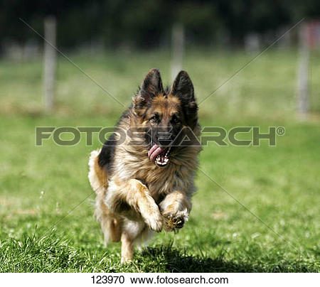 Stock Photography of German shepherd dog.