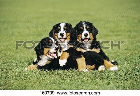 Stock Photograph of Bernese Mountain dog.