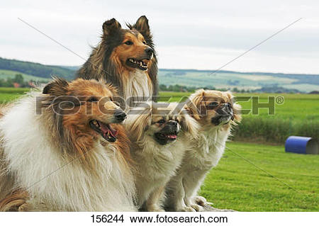 Stock Photo of Collie, Sheltie and two Tibetan Spaniel dogs on.