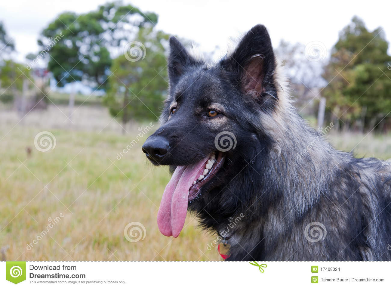Shiloh Shepherd Dog In Meadow Stock Images.