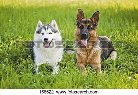 Stock Photo of Siberian Husky dog and German Shepherd dog on.