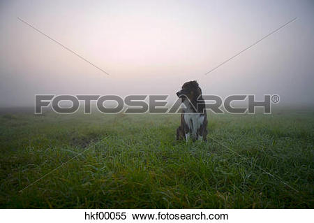 Stock Image of Australian Shepherd dog sitting on meadow hkf00055.