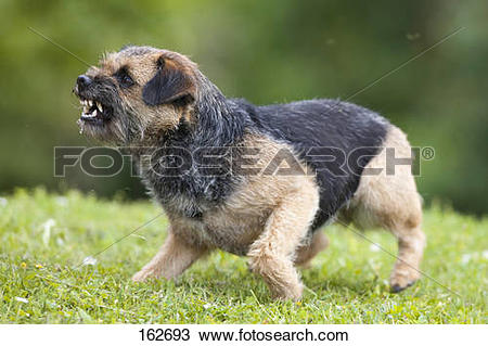 Stock Photo of Border Terrier dog on meadow.