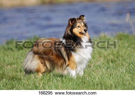 Stock Image of Sheltie dog.
