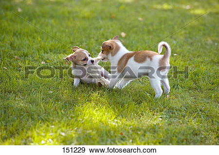 Stock Photograph of two half breed dog puppies.