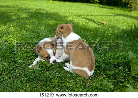 Stock Photograph of two half breed dog puppies on meadow 151219.