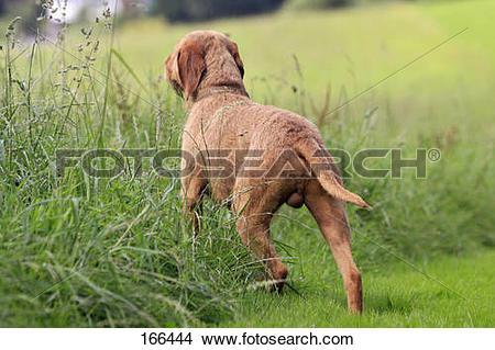 Stock Photo of Wirehaired Magyar Vizsla dog.