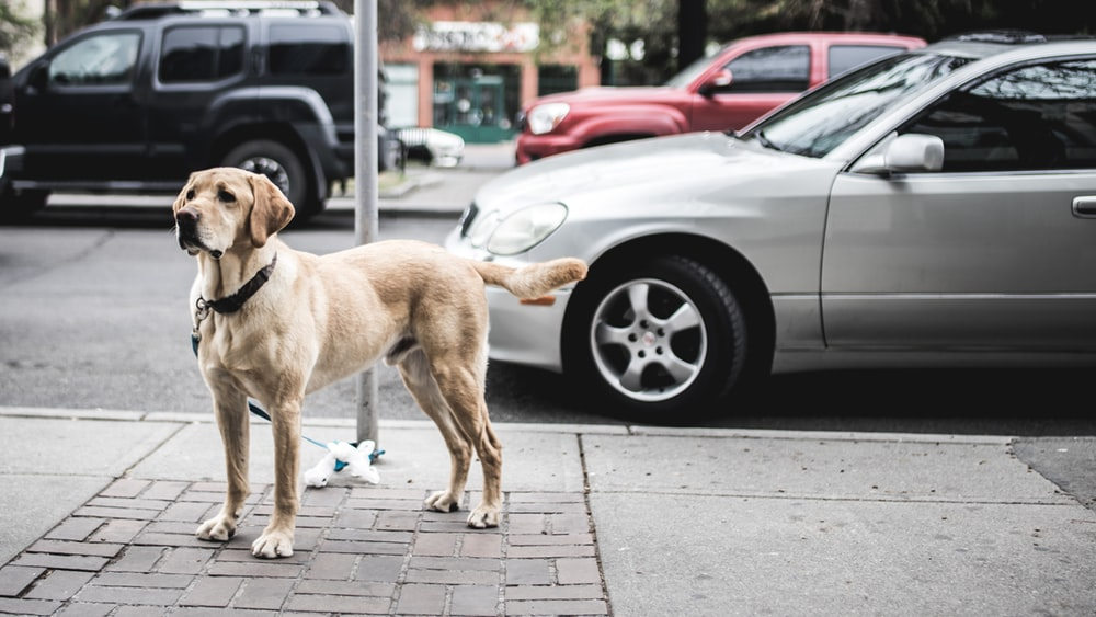 500+ Labrador Pictures.